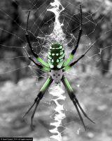 Poisonous Spider by JasonCasteel
