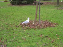 SOU Gull by wilterdrose-stock