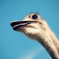 ostrich by justerZ