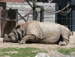 Rhino Sleeping by allykat