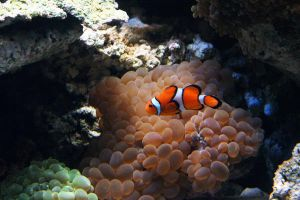 Clown Fish by ghikij