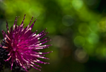 hedgerow thistle by Poody-champa