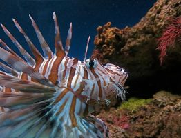 Lion Fish - King of Fishes by rmbastey