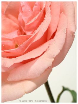 -: Delicate Petals v.1 :- by the-planr