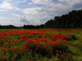 Les coquelicots by Flore-stock