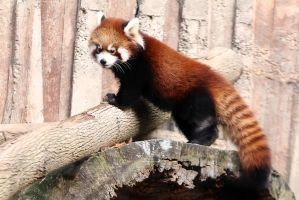 Red Panda Stock 11: Baby Red Panda by HOTNStock