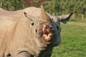 Rhino by rosswillett