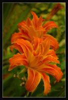 . Lilies by ForgivenDreamSoul