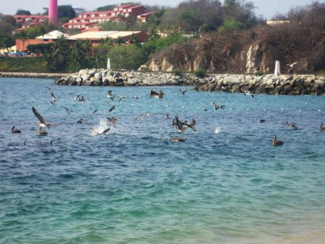 Hungry PELICANS by jesusgalman