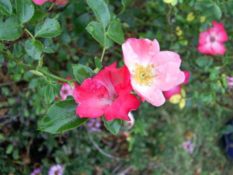 Wild Rose with unwanted guests by MickK