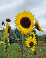 Sunflowers on a cloudy day by DelphiRose