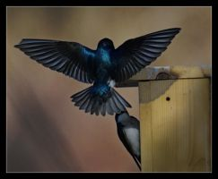 Swallow Landing by Karl-B