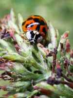 Ladybird 7 by iriscup