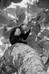 Capuchin Monkey by monotone2k