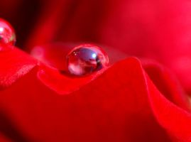 red rose macro by willos2