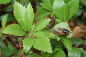 17-Year-Cicadas Revisited by Kerrbare