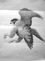 Study of a Peregrine in flight by munchengirl