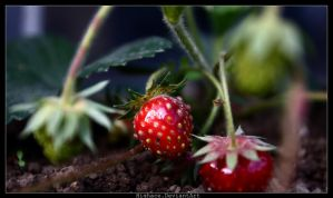 Fraises by DeFutura