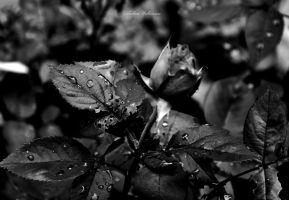 The Rose by B-A-B-E