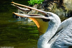 White Pelican and Its Lunch by amrodel