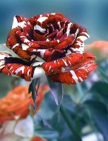 variegated rose by classina