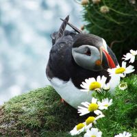 Puffin garden by Heylormammy