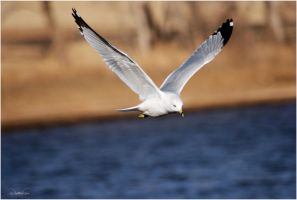 Ring-Billed Gull II by SuicideBySafetyPin