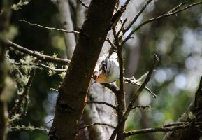Black-and-white Warbler I. by swampliquor