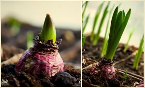 Hyacinth. by Mrs-Cloudia-S