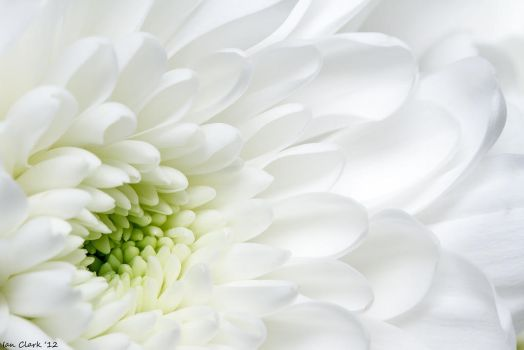 White Chrysanthemum by DPSparhawk