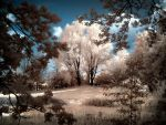 Tree infrared (at Lake Wolny Germany) by MichiLauke