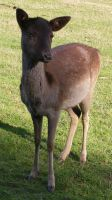 Small Baby Brown Deer 3 by Gracies-Stock