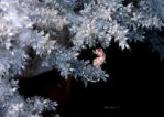Pygmy Seahorse on Soft Coral by LazyDugong