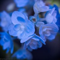 Hydrangea in August by larksgar