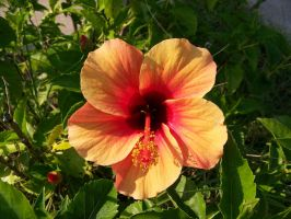 Orange Hibiscus by Fully-Stocked