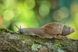 Wolf Snail by MCN22