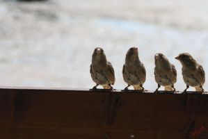Sparrows in discussion by Feelin3