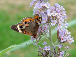 ...Common Buckeye., by duggiehoo