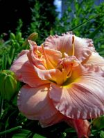 Day Lily by sketch5x10