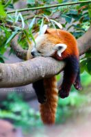 Snoozing Red Panda by thebreat
