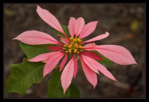 Poinsettia Double Pink by Firey-Sunset