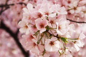 Blossomed Blossoms by Jay-Pics