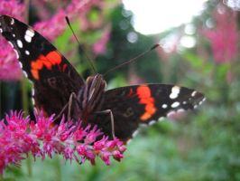 Red Admiral Butterfly 5 by darchiel