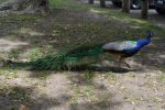 Cool Peacock IV by Brooklyn47