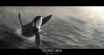 Orcinus orca by AngelMC18