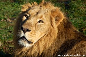Panthera Leo Persica II by amrodel