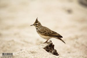 Crested Lark by Super-shehhi