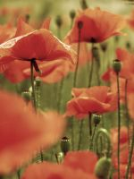 poppies by truee