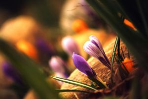 First Crocuses by incolor16