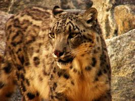 snow leopard II by mia95